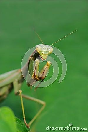 Free Praying Mantis Stock Photo - 17276410