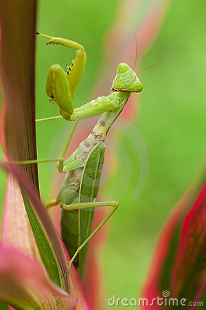 Free Praying Mantis Royalty Free Stock Photos - 20967268
