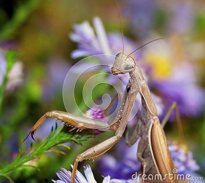 Free Praying Mantis Stock Image - 21312071