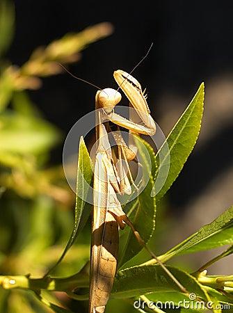 Free Praying Mantis Stock Photos - 225293