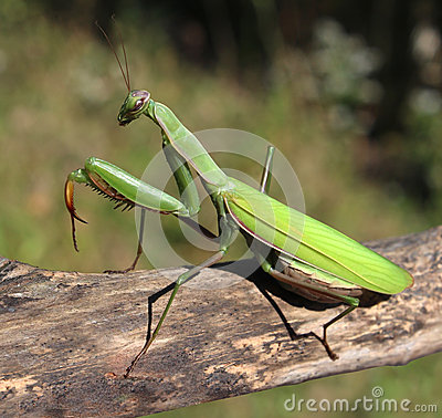 Free Praying Mantis Royalty Free Stock Photos - 34178168