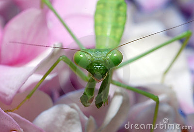 Praying Mantis Stock Photos - Image: 5607043
