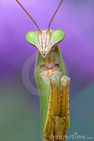 Free Praying Mantis Stock Photography - 6295692