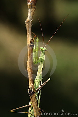 Praying Mantis on the bough