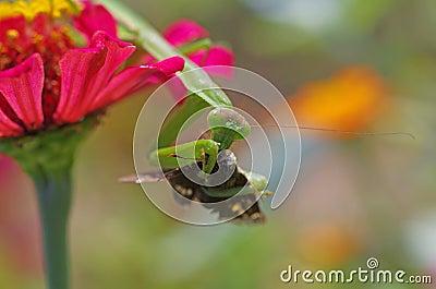 Praying mantis eating a moth