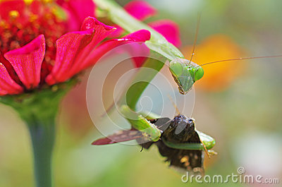Praying mantis eating a moth