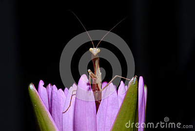 Praying mantis on a lotus.