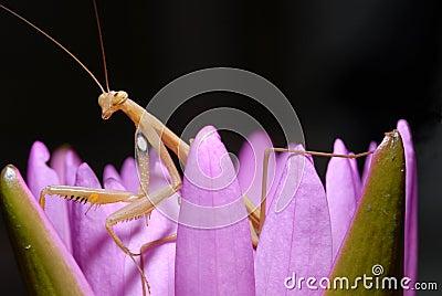 Praying mantis on a lotus.