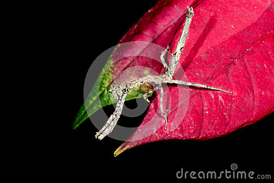 Praying mantis, ranomafana