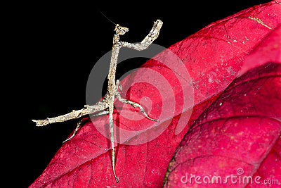 Praying mantis, ranomafana
