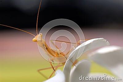 Praying mantis on white flower.