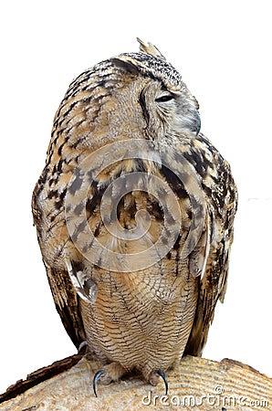 Predador adulto da coruja de noite