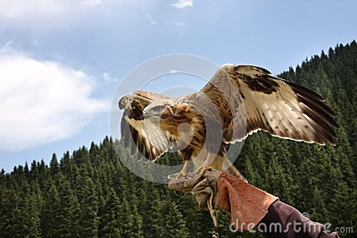 Predator  bird,  falcon.Waves wings.