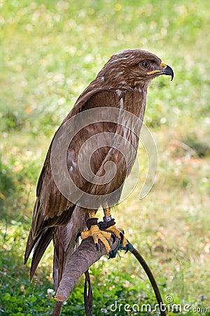 Predator on falconer stand