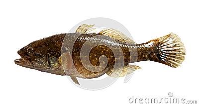 Predator freshwater fish