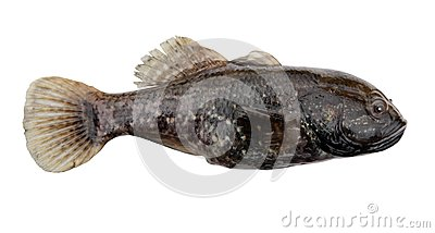 Predator Freshwater Fish Stock Photo - Image: 14948440
