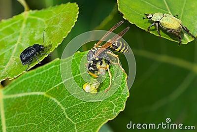 Big wasp eating caterpillar delicatessen.
