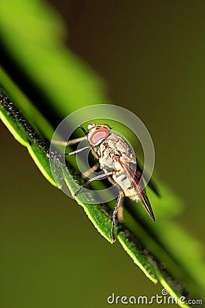 Predatore della mosca