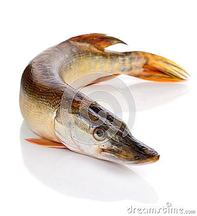 Predatory fish on the white