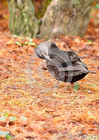 Preening Black Duck