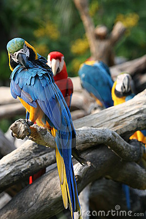 Preening blue & yellow parrot