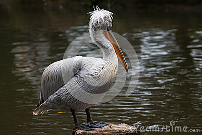 Dalmatian Pelican in Breeding Season