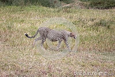 Pregnant Cheetah
