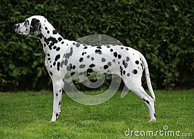 Pregnant dalmatian bitch
