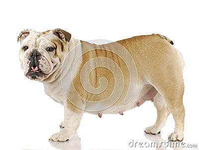 """pregnant dog thumb17509514 - Estro em Cadelas ou """"Cio"""""""