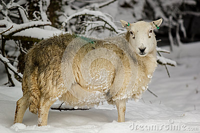 Pregnant sheep in the snow