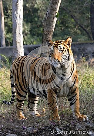Pregnant tigress