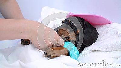 Prendersi cura di un cane malato sdraiato sul letto come un vero volto umano stock footage