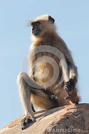 Presbytis monkey on fort wall