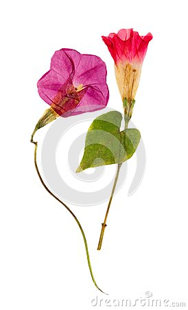 Free Pressed And Dried Flower Morning-glory Or Ipomoea, Isolated On W Royalty Free Stock Photos - 112790558