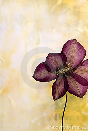 Pressed clematis flower