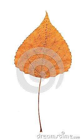 Pressed dry poplar leaf