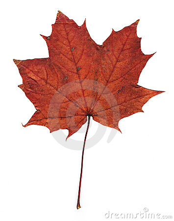 Pressed maple leaf