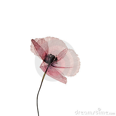Free Pressed Poppy Flower Stock Photography - 4019732