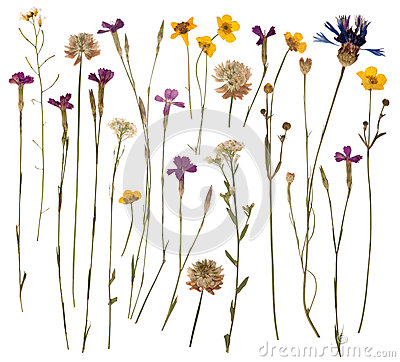 Free Pressed Wild Flowers Stock Photo - 26134990