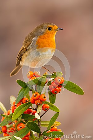 Free Pretty Bird With A Nice Red Plumage Royalty Free Stock Image - 100180686