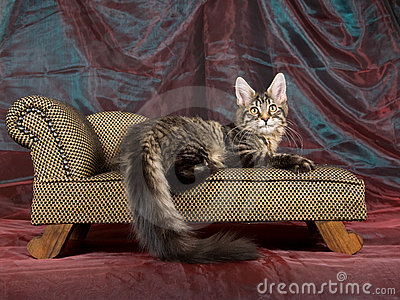 Pretty black tabby Maine Coon kitten on sofa