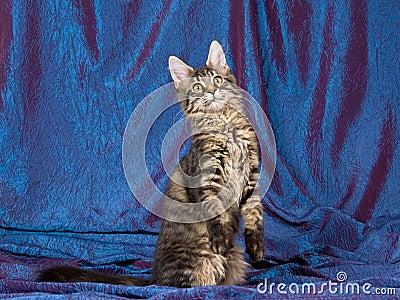 Pretty black tabby Maine Coon MC kitten