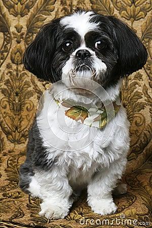 Pretty Boy Shihtzu Dog...