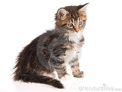 Pretty brown Maine Coon kitten on white bg
