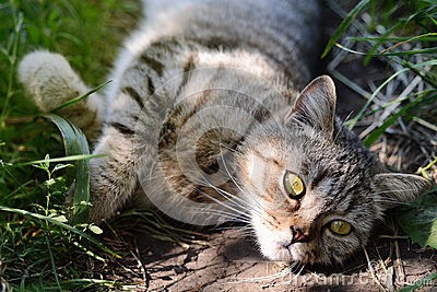 Pretty Cat or Kitten Lying in Grass, Outdoor Shot