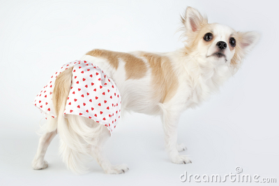 Pretty chihuahua dog dressed in white silk panties