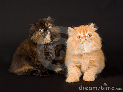 Kucing Persia Hitam Lucu dan Imut