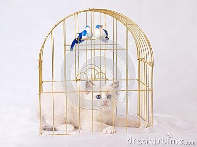 Pretty cute Ragdoll kitten inside gold birdcage