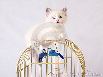 Pretty cute Ragdoll kitten on top of birdcage