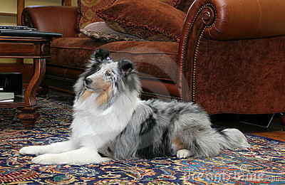 Pretty dog in living room